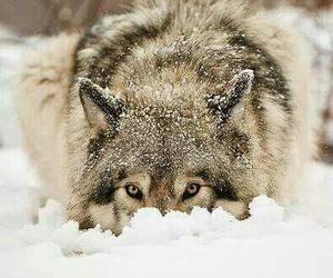 wolf, animals, and wild image