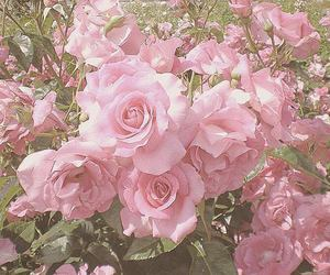 pink, flowers, and roses image
