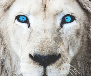 lion, animal, and white lion image