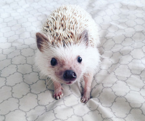 hedgehog, white, and cute image