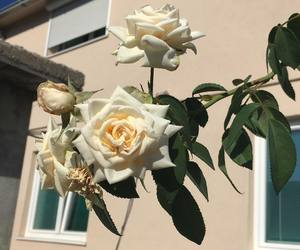 rose, nature, and white image