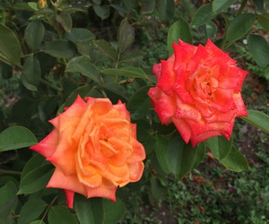 orange, red, and roses image