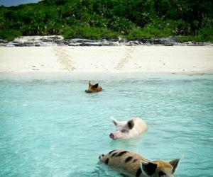 pig, animal, and beach image