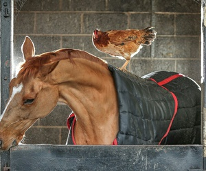 Chicken, horse, and ride image