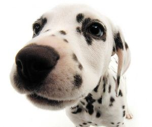 bianco, dalmatian, and puppy image