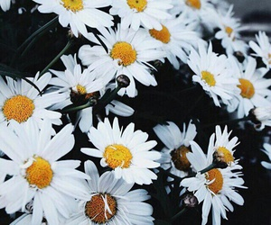 chamomile, white, and flowers image