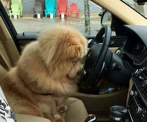 car, chow chow, and cute image