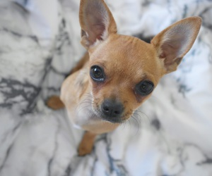 baby, beauty, and chihuahua image