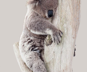 animal and Koala image