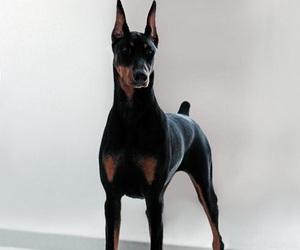 beautiful, doberman, and dog image