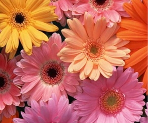 flores, flower, and gerbera image