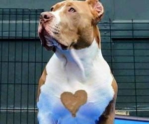 dog, pitbull, and heart image