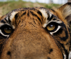 animal, photography, and tiger image