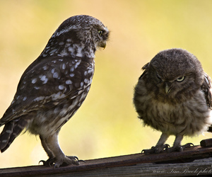 owl, owlet, and owls image