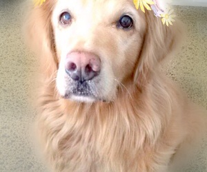 dog, golden, and golden retriever image