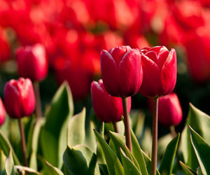 red, flowers, and tulips image