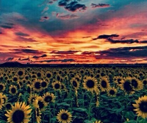 sunflower and wallaper image