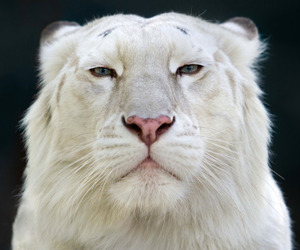 lion and white lion image