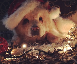 chow chow, christmas, and dogs image