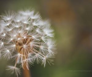 bokeh, dandelion, and nature image
