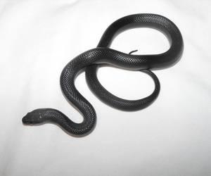 black, reptile, and reptiles image
