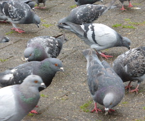 animals, funny, and pigeon image