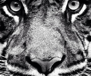tiger, wallpaper, and animal image