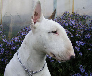 dog, bull terrier, and pet image