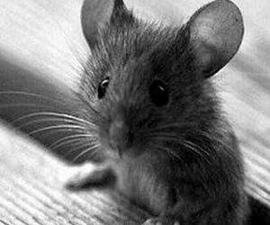 animal, mouse, and cute image