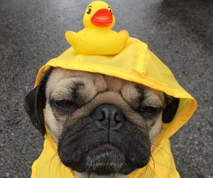 dog, duck, and pug image