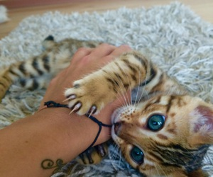baby, bengal, and blue eyes image