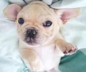 adorable, dog, and french bulldog image