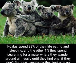 Koala and funny image