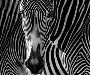 animal, zebra, and black and white image