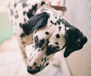 dog, dalmatian, and pet image