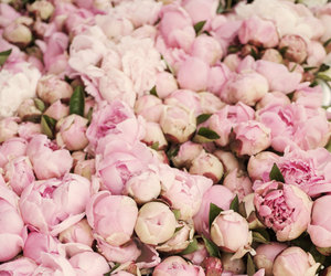 flowers, peonies, and pink image