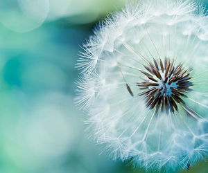 flowers, dandelion, and blue image