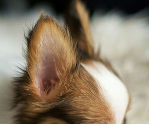 doggie, sweet, and papillon image