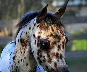 horse and arabian image