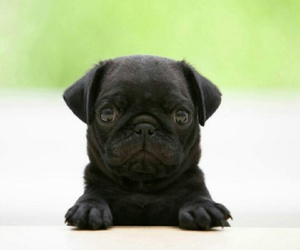 animals, pugs, and so cute image