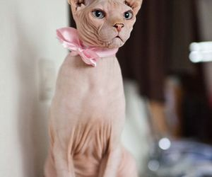cat and sphynx image