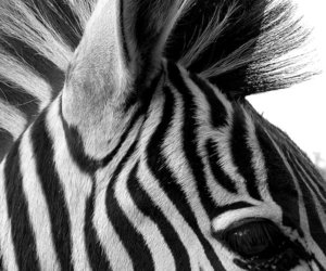 zebra, animal, and black and white image
