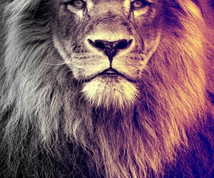 lion, animal, and wallpaper image