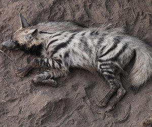 hyena, striped, and resting image