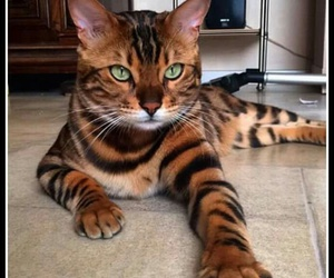 beautiful, cat, and it image