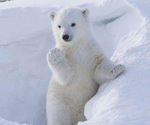 animal, bear, and Polar Bear image