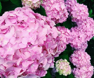 flowers, hydrangeas, and photography image