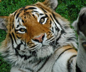 funny, tiger, and tigre image