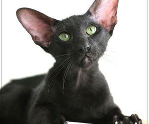 black cat and oriental shorthair image