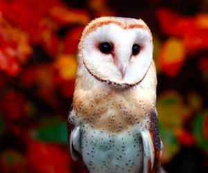owl, autumn, and barn owl image